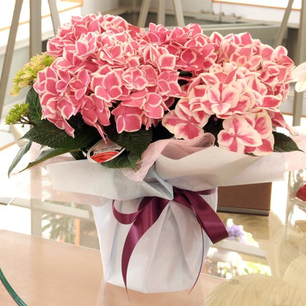 康乃馨 1934年5月,美国首次发行母亲节纪念邮票,邮票上一位慈祥的母亲,双手放康乃馨在膝上,欣喜地看着前面的花瓶中一束鲜艳美丽的康乃馨。随着邮票的传播,在许多人的心目中把母亲节与康乃馨联系起来,康乃馨便成了象征母爱之花,受到人们的敬重。国际上献给母亲的花是康乃馨,它在纤细青翠的花茎上,开着鲜艳美丽的花朵,花瓣紧凑而不易凋落,叶片细长而不易卷曲,花朵雍容富丽,姿态高雅别致。红色的康乃馨象征热情,正义,美好和永不放弃,祝愿母亲健康长寿;粉色的康乃馨,祈祝母亲永远年轻美丽;白色的康乃馨,象征儿女对母亲纯洁的爱