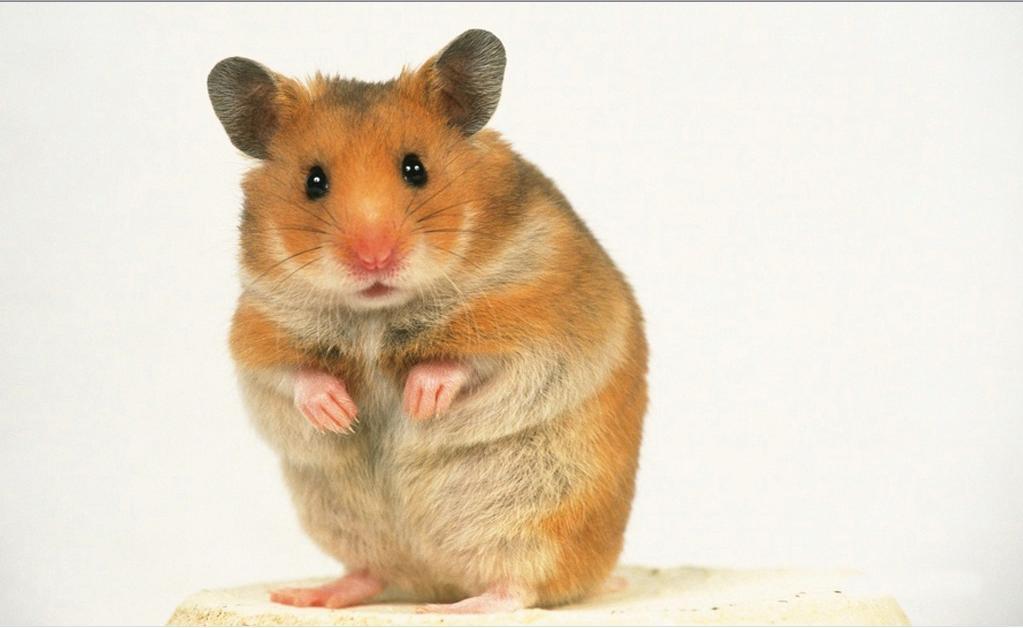 最大的鼠科动物