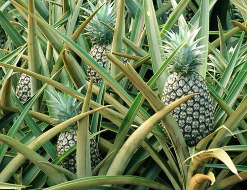菠萝的结构图解