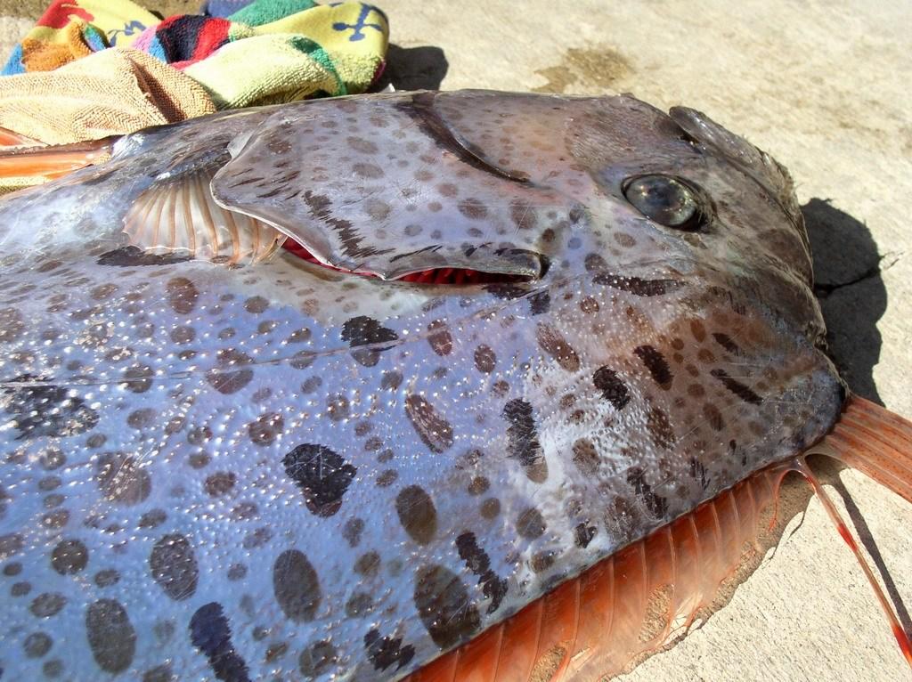桨鱼吃人的视频_桨鱼
