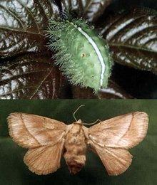 刺蛾幼虫波刺毛(洋辣子)与成虫刺蛾