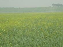 张北草原的油菜花
