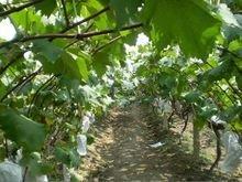 西安户太八号葡萄生产基地