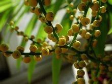 袖珍椰子开花图