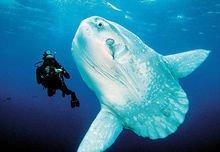 发现巨大的翻车鱼