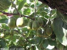 红阳猕猴桃