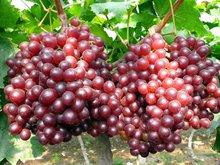 红宝石葡萄