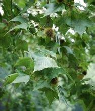 枫香树(图2)