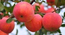 立秋防温燥吃苹果