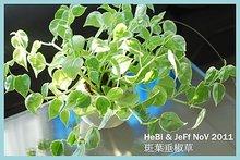 斑葉垂椒草