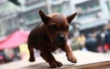 川东猎犬多少钱一只_川东猎犬_360百科
