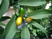石柑子的功效与作用及禁忌