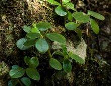 石蝉草的食用方法和功效与作用