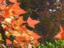 秋天的枫香树,红艳似火。