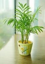 袖珍椰子,居家盆栽