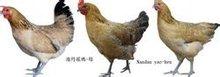 南丹瑶鸡(母)