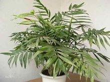 无土栽培的袖珍椰子