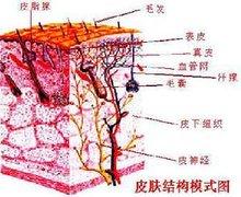 皮肤结构模式图