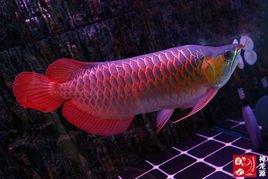 新加坡红龙鱼视频_红龙鱼_360百科