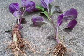 血皮菜的栽培 - fdycq - 费家村----老费的三角梅花园