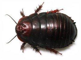 土鳖虫多少钱一斤,土鳖虫功效与作用