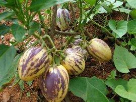 金果榄价格,金果榄的功效与作用