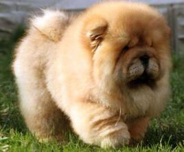 松狮犬的性格_熊狮犬_360百科