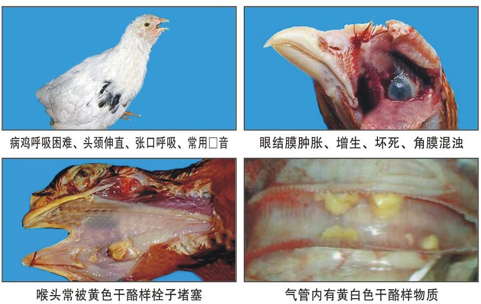 鸡气囊炎_鸡传染性喉气管炎_360百科