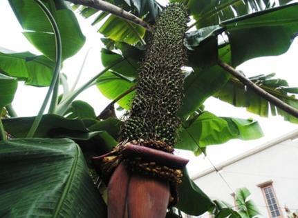 2014年海南香蕉价格_香蕉_360百科