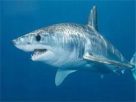 美渔民捕获世界最恐怖的鲨鱼--灰鲭鲨