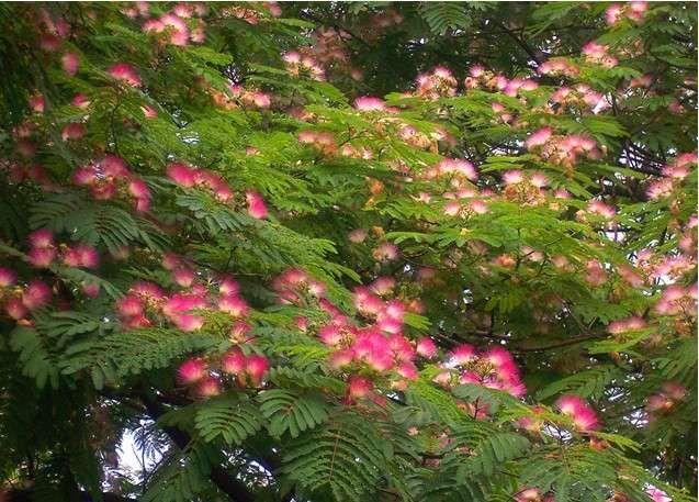 绒花树   合欢树